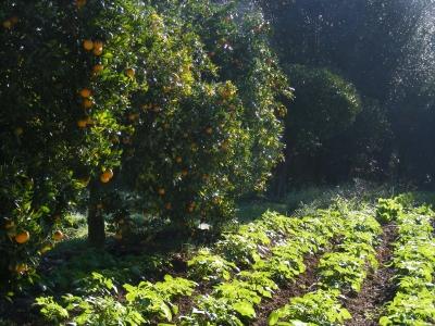 huerta y naranjos
